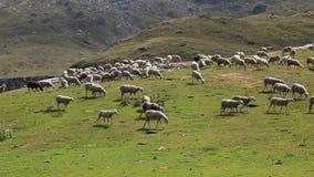 吃草的绵羊 股票视频
