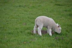 吃草的羊羔 免版税库存图片