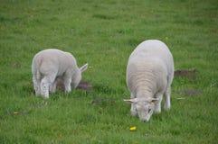吃草的羊羔 免版税库存照片