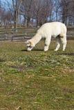 吃草的羊魄 免版税库存照片