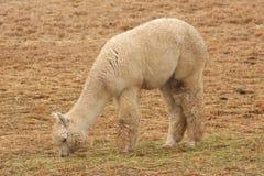 吃草的羊魄 图库摄影