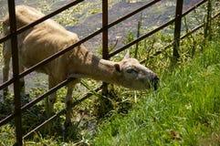 吃草的肖恩羊羔通过篱芭 库存照片