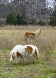 吃草的舍特兰群岛小马 库存照片