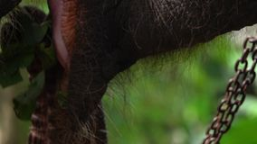 吃草的被束缚的大象亚洲象属maximus 关闭嘴和舌头看法  动物暴力 股票视频