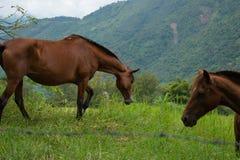 吃草的马在哥伦比亚的乡下 库存照片