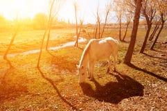 吃草的马在圣洁鱼池 库存图片