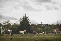 吃草的马小牧群  图库摄影