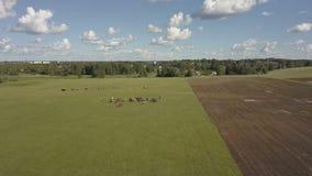 吃草的马是绿色牧场地 马在领域吃草 在棕色马的鸟瞰图在一个绿色草甸 股票视频