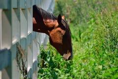 吃草的马通过白色篱芭 免版税库存图片
