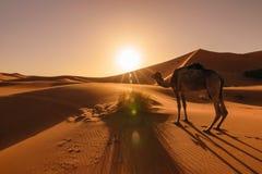 吃草的骆驼在日出,尔格Chebbi,摩洛哥 免版税库存照片