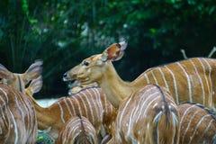 吃草的黄色鹿在动物园里 免版税库存图片