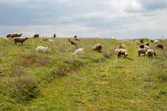 吃草的绵羊和的山羊牧群  免版税库存照片