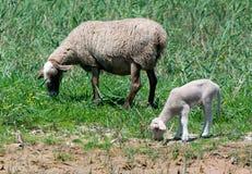 吃草的绵羊和的羊羔 图库摄影