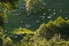 吃草的绵羊和的羊羔 免版税库存图片