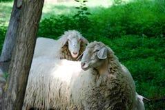 吃草的绵羊,山麓-意大利 库存图片