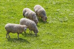 吃草的绵羊,当一个看2时 免版税库存照片