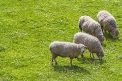 吃草的绵羊,当一个看1时 免版税库存照片
