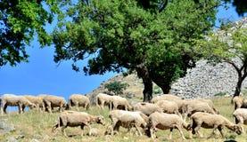 吃草的绵羊 免版税库存照片