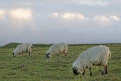 吃草的绵羊 库存照片