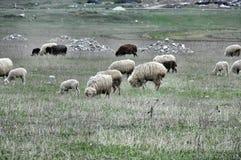 吃草的绵羊 免版税库存图片