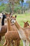 吃草的alpacas 免版税库存图片