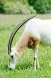 吃草短弯刀有角的羚羊属 免版税库存图片