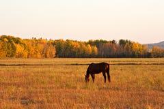 吃草秋天的马一个牧场地在sunsey 库存照片