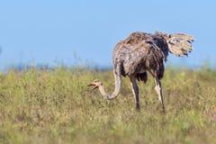 吃草种子的女性共同的驼鸟 免版税库存图片