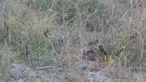 吃草种子的鳞状breasted Munia鸟 影视素材