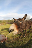 吃草簇生驴的题头 库存照片