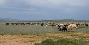 吃草绵羊和山羊牧群  库存照片