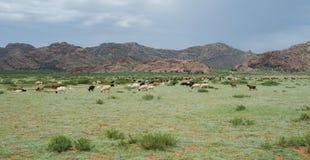 吃草绵羊和山羊牧群  免版税图库摄影