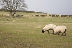 吃草绵羊的域 免版税库存照片