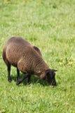 吃草绵羊的棕色域 免版税库存照片