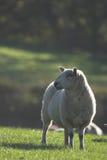 吃草绵羊的满地露水的草 免版税图库摄影