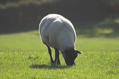 吃草绵羊的满地露水的草 免版税库存照片