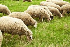 吃草绵羊的群 免版税库存照片