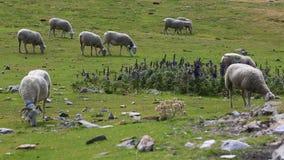 吃草绵羊 影视素材