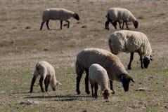 吃草绵羊 免版税库存图片