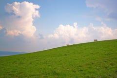 吃草绿色倾斜的母牛 库存图片