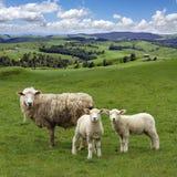 吃草绿色横向美丽如画的绵羊 免版税库存图片