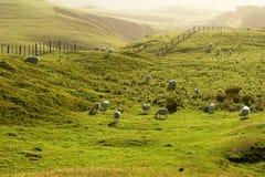 吃草绿色牧场地绵羊日落 免版税库存图片