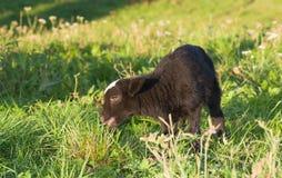 吃草绿色羊羔草甸 免版税库存照片