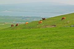 吃草绿色草甸夏天的母牛 免版税库存照片