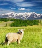 吃草羊羔 免版税图库摄影