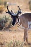 吃草羚羊的大型装配架 免版税库存照片