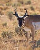 吃草羚羊的大型装配架 库存图片