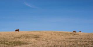 吃草肉用牛在中央俄勒冈 库存图片
