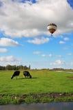 吃草肥胖的母牛。 在多云天空飞行气球 免版税库存图片