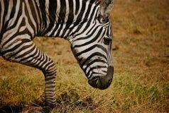 吃草肯尼亚斑马 库存照片